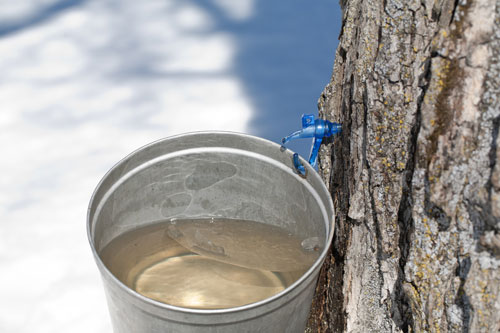 Fotolia-maple-sap-web