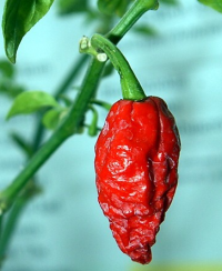 ghost-peppers-seeds-for-sale