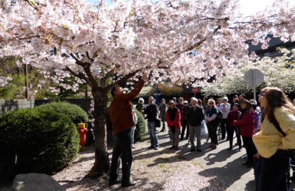 Tree Talks   Walks   Vancouver Cherry Blossom Festival Vancouver Cherry Blossom Festival