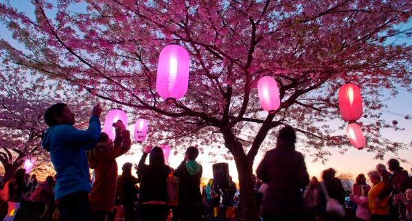 Sakura Illumination   Vancouver Cherry Blossom Festival Vancouver Cherry Blossom Festival5