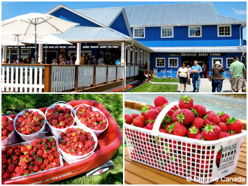 Krause-Berry-Farm-Strawberries1
