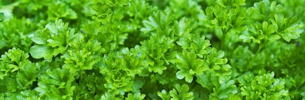 parsley-1444019_960_720-e1478750672406-1
