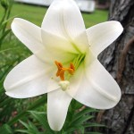 28966354.EasterLily1-150x150