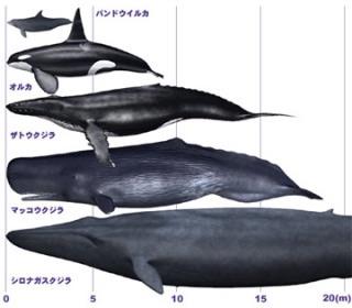 シャチ大きさ比較