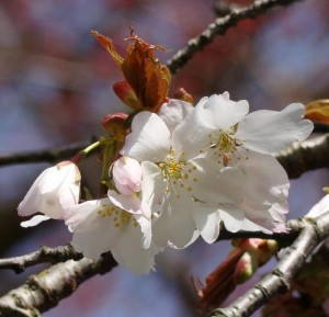 20100318_raleigh47th_yama-zakura_cutler_dsc05545c-300x289