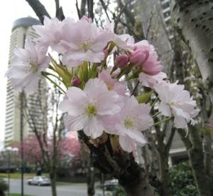 20080424_broughtonalberni_amanogawa_cutler_4585c-300x275