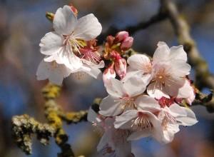 20110320_1020nanaimo_fudan-zakura_lin_8754-11-300x220