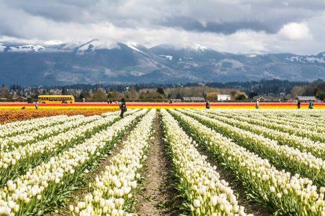 チューリップフェスティバル( Skagit Valley Tulip Festival )2019 @ Skagit Valley 周辺 ※アメリカ