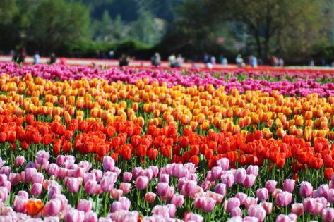 アボッツフォードチューリップフェスティバル(Abbotsford Tulip Festival)2019 @ Abbotsford | British Columbia | カナダ