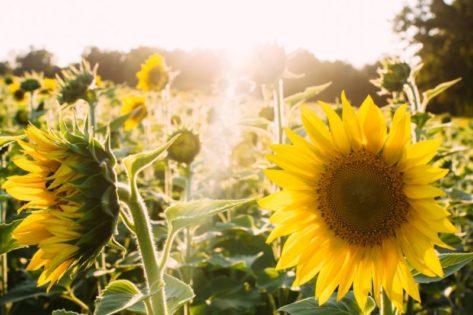 リッチモンドサンフラワーフェスティバル(Richmond Sunflower Festival)2019 @ Richmond | British Columbia | カナダ